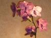 orchidea fuxia